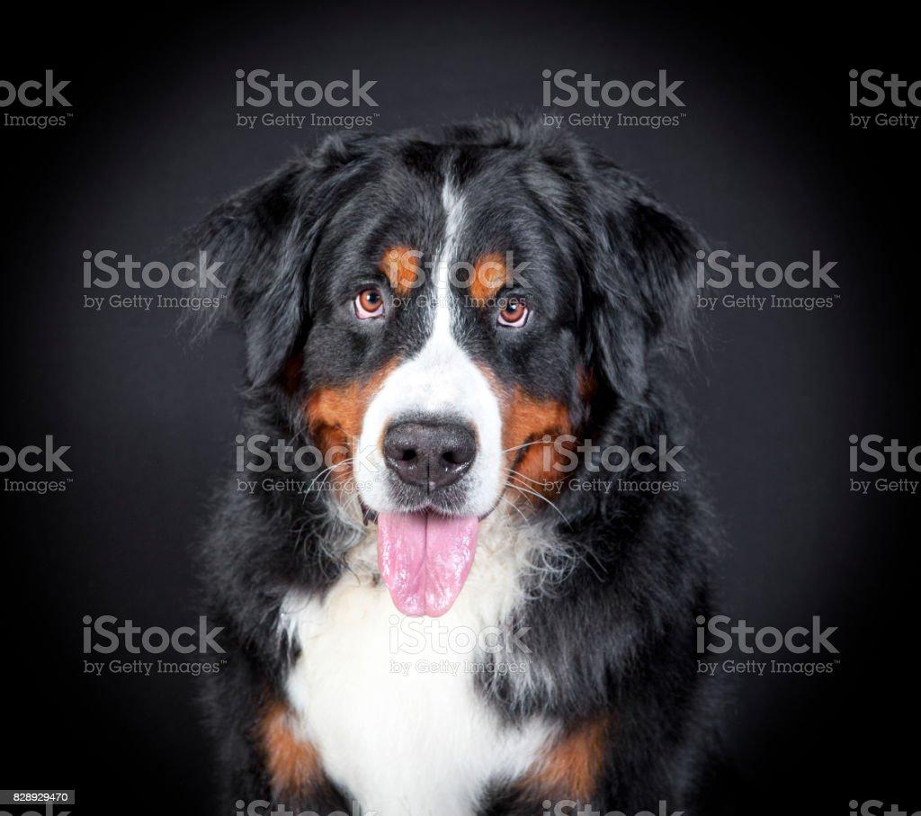 Bernese Mountain dog head stock photo