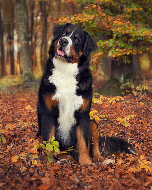 Bernese Mountain Dog in a autumn forest stock photo