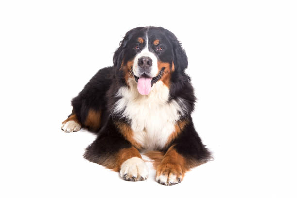 Berner Sennenhund in white background stock photo