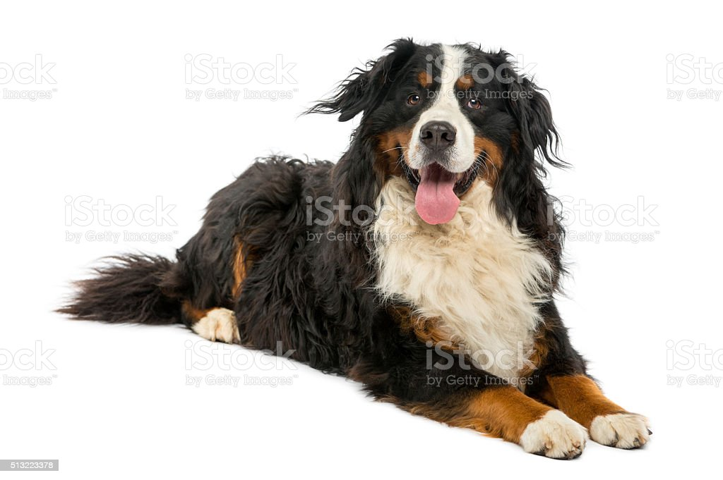 Bernese Mountain dog lying in front of a white background stock photo
