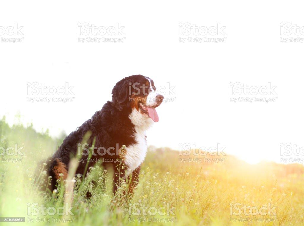 Bouvier bernois sur la nature - Photo