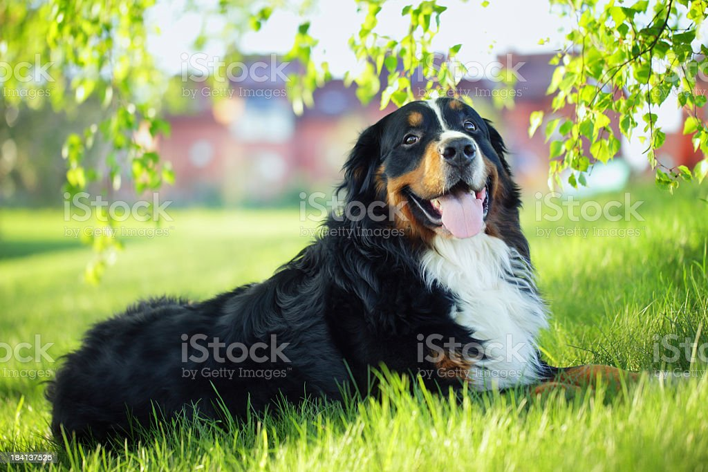 A bernese mountain dog on the grass  stock photo