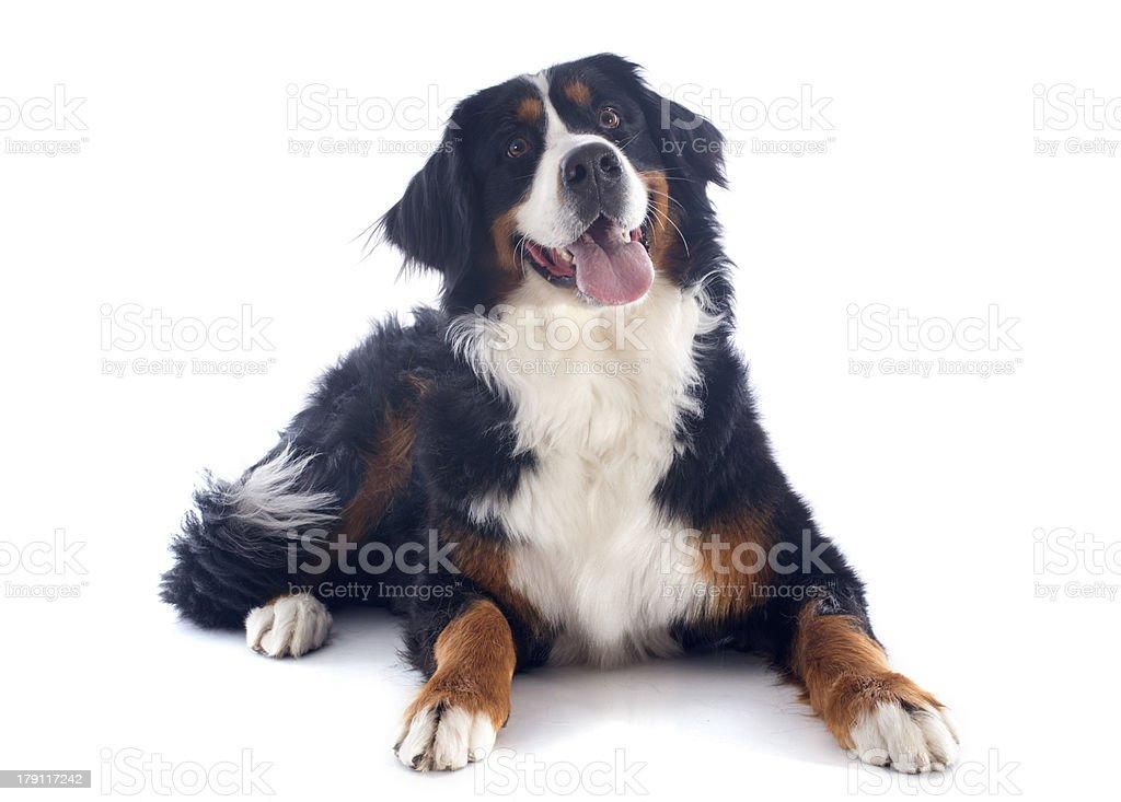 Bernese mountain dog on white background  stock photo