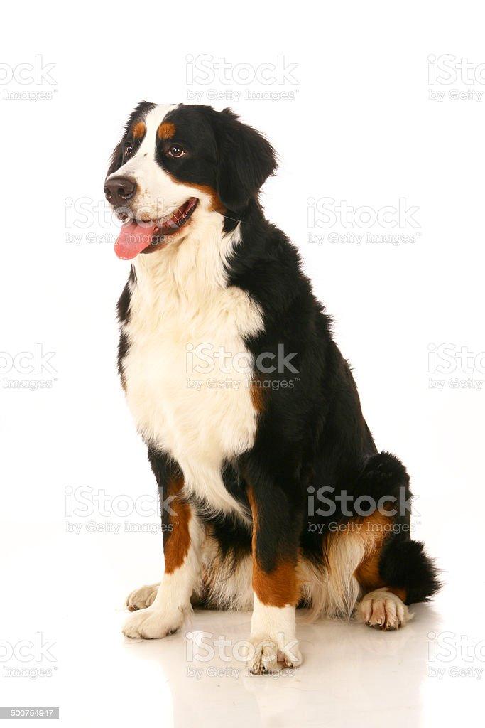Bernese mountain dog on white stock photo