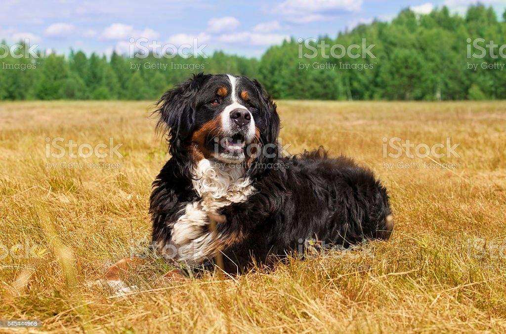 Bernese Mountain Dog outdoors - Photo