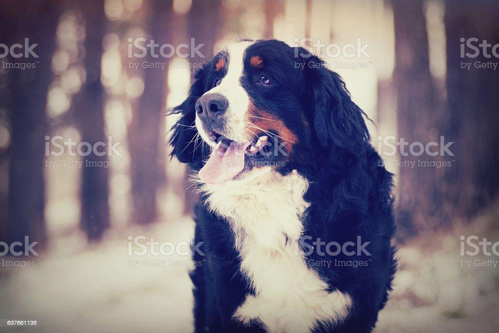Bernese Mountain Dog outdoors stock photo