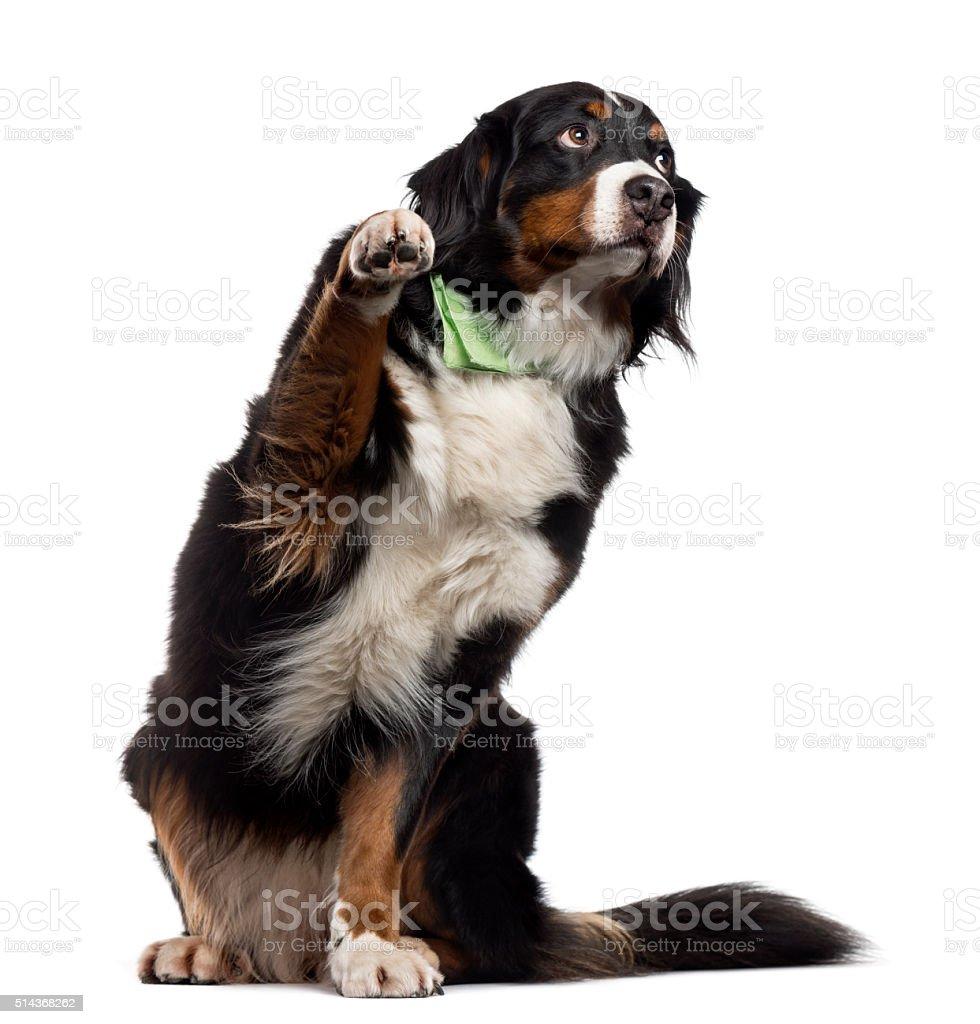 Bernese Mountain Dog pawing up, isolated on white stock photo