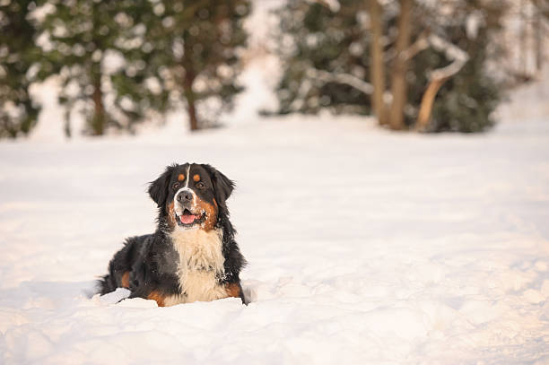 Berner Sennenhund – Foto
