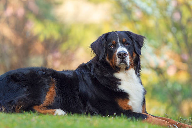 Best Sunshine Bernese Stock Photos Pictures Royalty Free