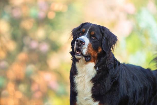 Bernese mountain dog stock photo