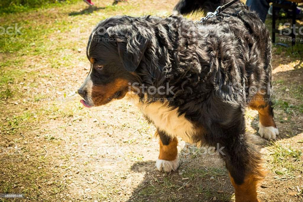 Bernese mountain dog. stock photo