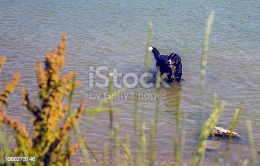 bernese mountain dog playing in water, dog in nature