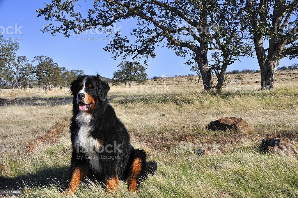 Bernese Mountain Dog plays among the oaks of  Northern California stock photo