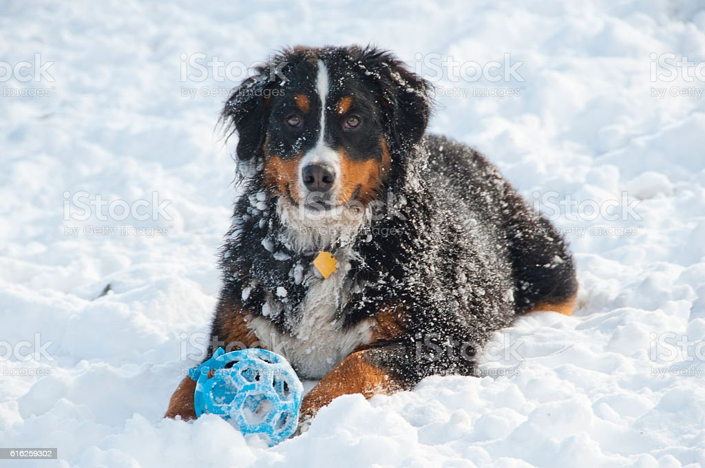 Bernese Mountain Dog Plays in Snow - Photo