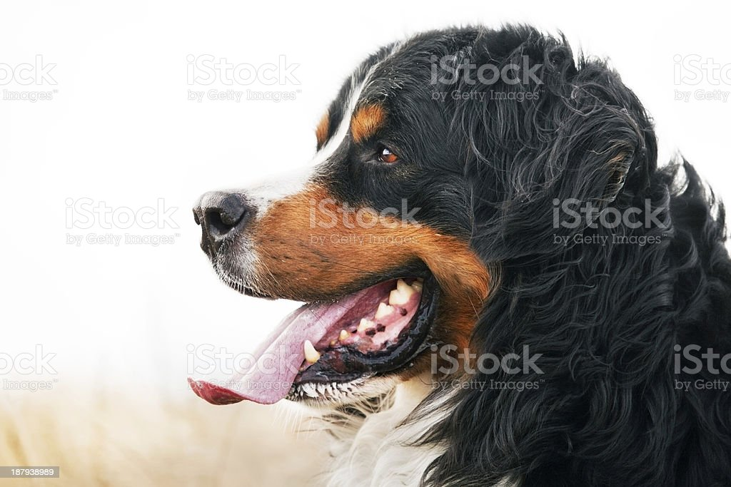 Bernese Mountain Dog portrait. Adult, purebred stock photo