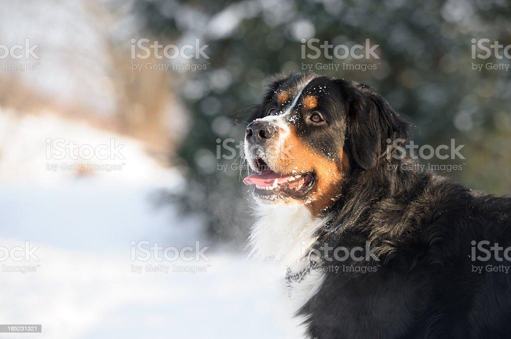 Bernese Mountain Dog Portrait stock photo