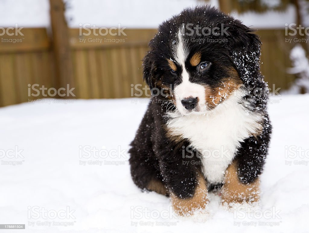 Bernese mountain dog puppet is looking carefully stock photo