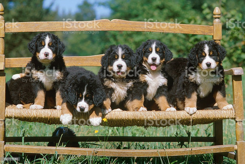 Bernese mountain dog puppies on a bench in a meadow royalty-free stock photo