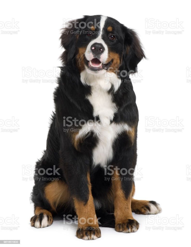 Bernese Mountain Dog Puppy 6 Months Old Sitting In Front Of White Background Stock Photo Download Image Now