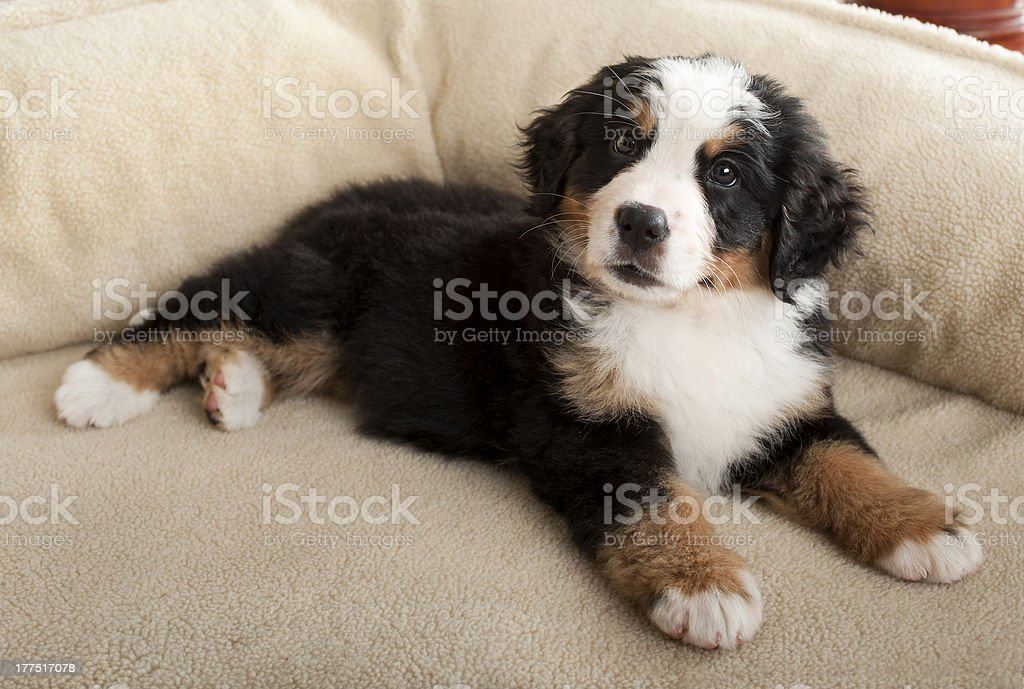 Bernese Mountain dog puppy lying on dogbed stock photo