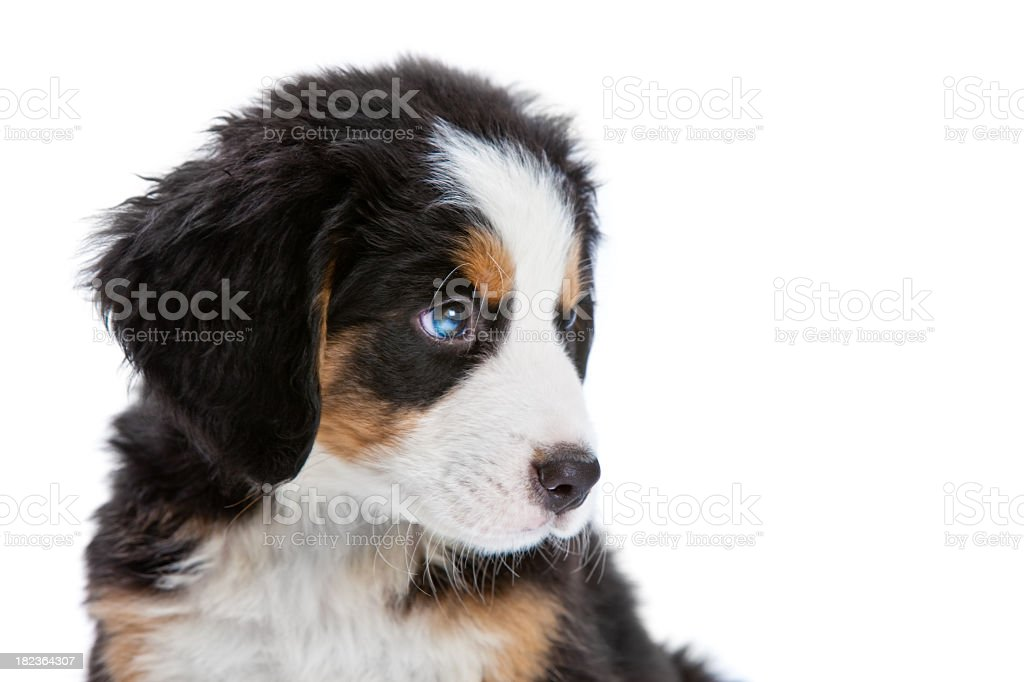 Bernese Mountain Dog Puppy Stock Photo Download Image Now