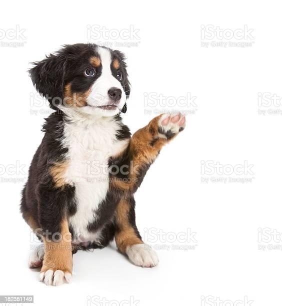 Bernese mountain dog puppy picture id182381149?b=1&k=6&m=182381149&s=612x612&h=64pvfgrqrvcgtb9wmvfirh ujneppsaalebxnzvyi1o=