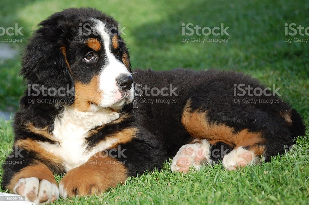 Bernese Mountain Dog Puppy. stock photo