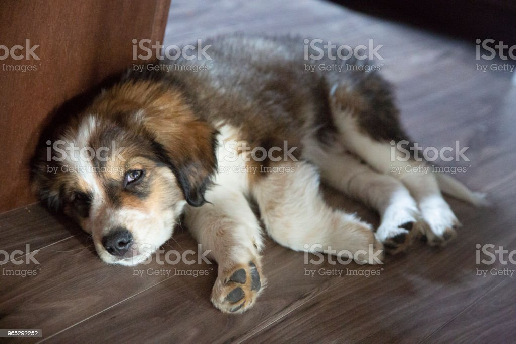 Bernese Mountain Dog Puppy Rests on Kitchen Floor royalty-free stock photo