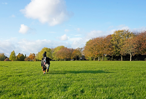 Bernese Mountain Dog running in the dog friendly park on the green grass