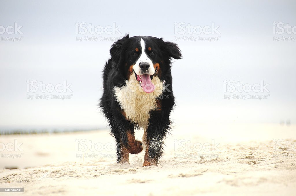 Bernese Mountain Dog running on the beach and panting stock photo
