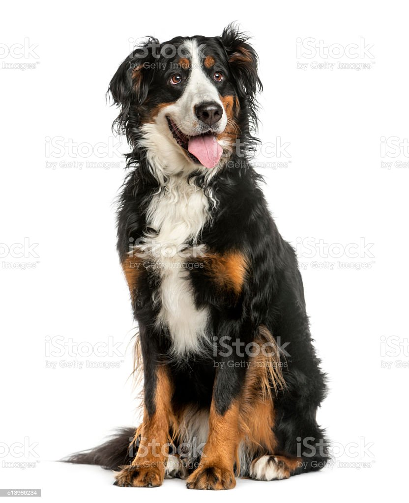Bernese Mountain dog sitting in front of a white background stock photo
