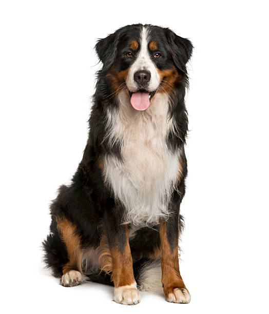 Bernese mountain dog sitting in front of white background picture id513365416?b=1&k=6&m=513365416&s=612x612&w=0&h=nflbnahpwax1qqnomeqdrvgdkctfqqcnt673lkfx5mo=