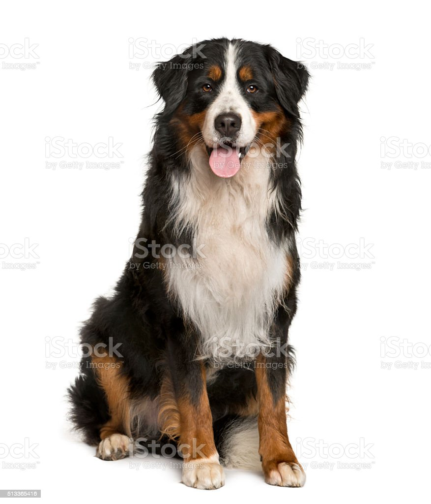 Bernese Mountain dog sitting in front of white background stock photo