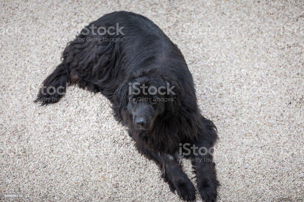 Bernese Mountain Dog sitting in the yard stock photo