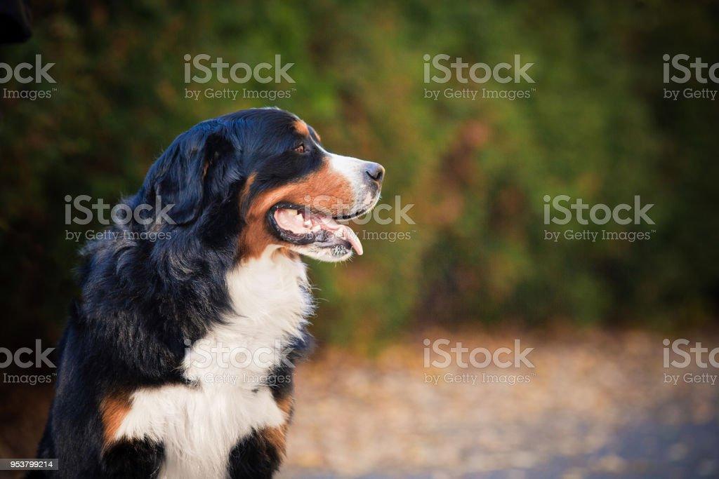 Bouvier Bernois, marchant dans un parc en automne - Photo