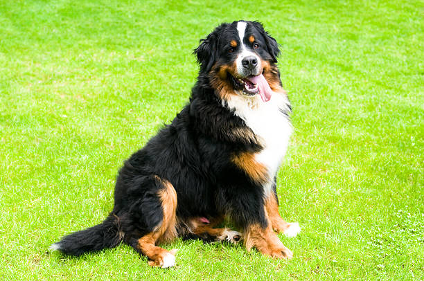 Bernese Mountian Dog how Sitting on Grass stock photo