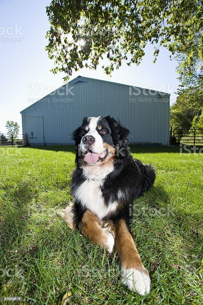 Bernese montagna), ritratto all'aperto di cane foto stock royalty-free