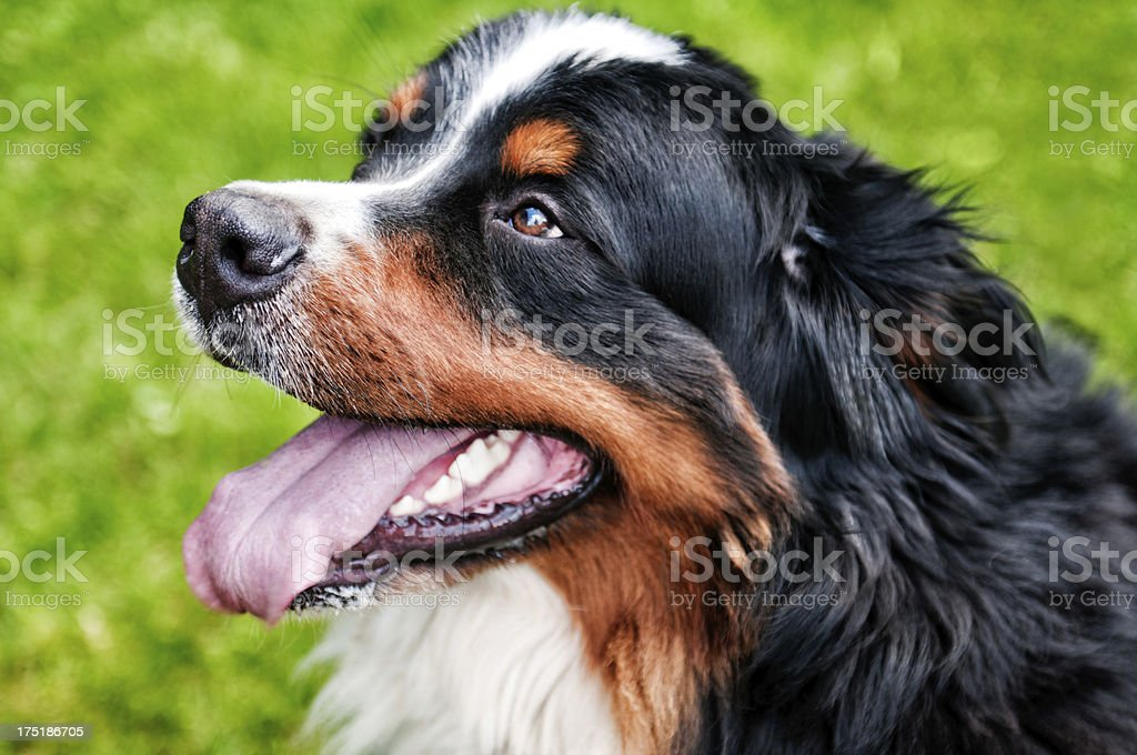 Bernese Mountian Dog, Portrait stock photo