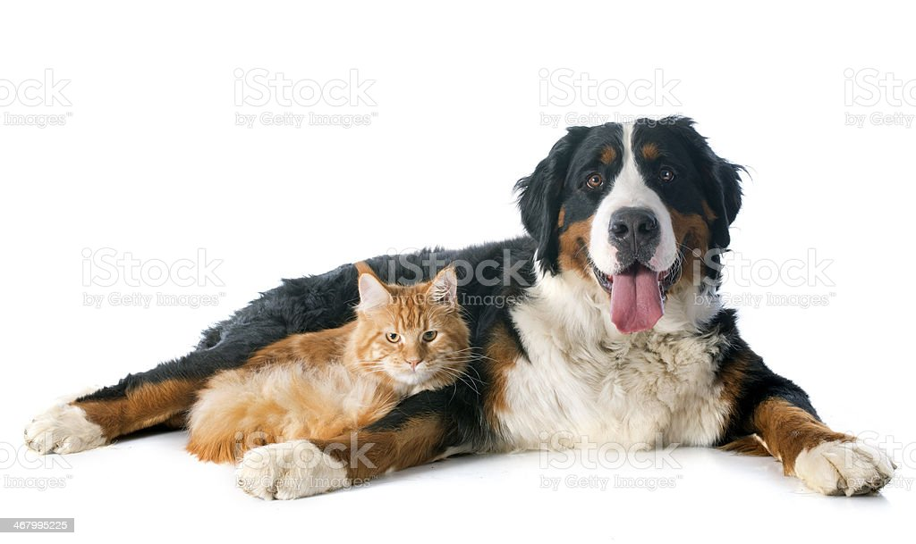 bernese moutain dog and cat stock photo