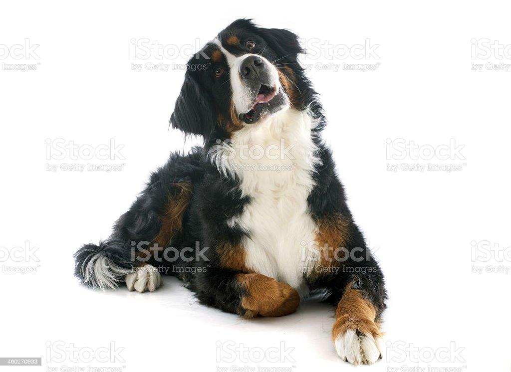 bernese moutain dog stock photo