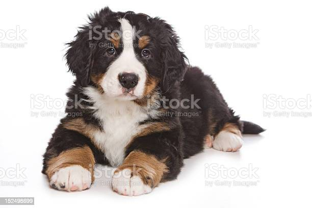 Bernese puppy on white background picture id152498699?b=1&k=6&m=152498699&s=612x612&h=hzfilkgnauw5xuiq7rm1qy 7uo34mcgczhjciaheh3c=