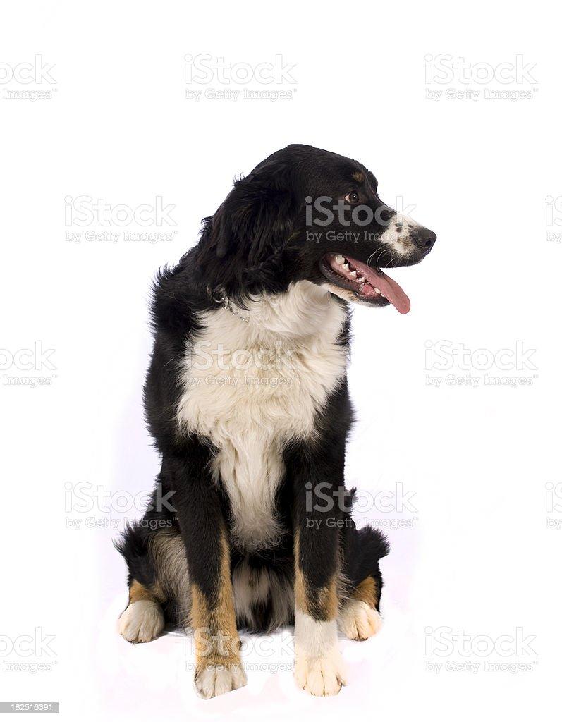 berneses dog  bouvier bernois stock photo