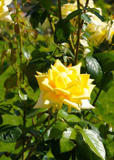 Berolina hybrid tea rose yellow flower with green picture id963542098?b=1&k=6&m=963542098&s=612x612&w=0&h=kt507hpsdh1pkmh6ru6uyqksny7g1wt6tkhi6sdzjmu=