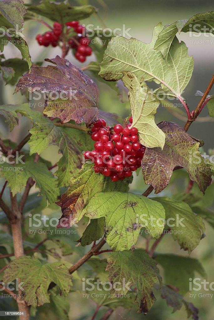 Berries and leaves of Viburnum opulus stock photo