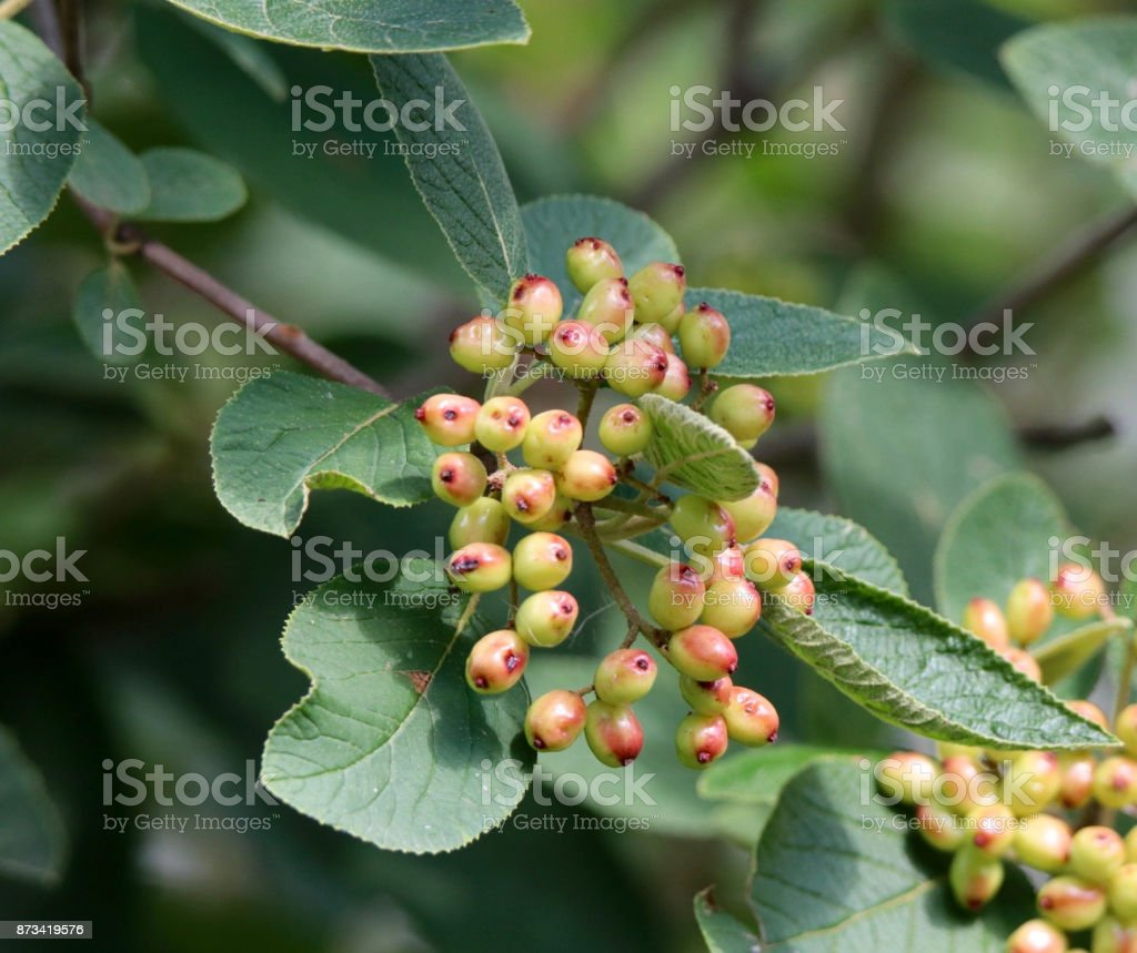 Berries and Leaves stock photo