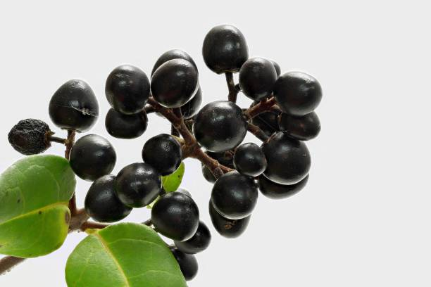 Berries, fruits of the ordinary liqueur (Lingustrum vulgare) stock photo