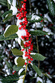 Holly berries stand out against their evergreen leaves covered with snow.