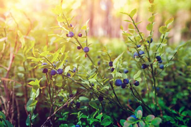 Beeren in den Wald – Foto