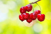 Red berries of a sweet cherry with water drops on a branch on blurred background of a summer garden