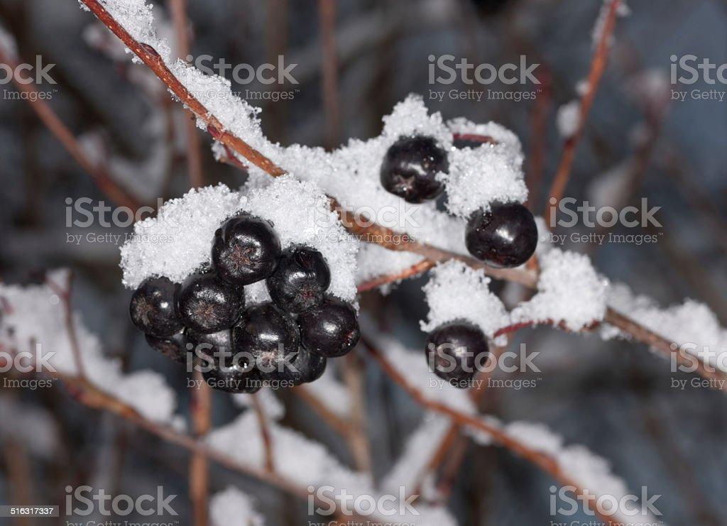 Berries of aronia in winter